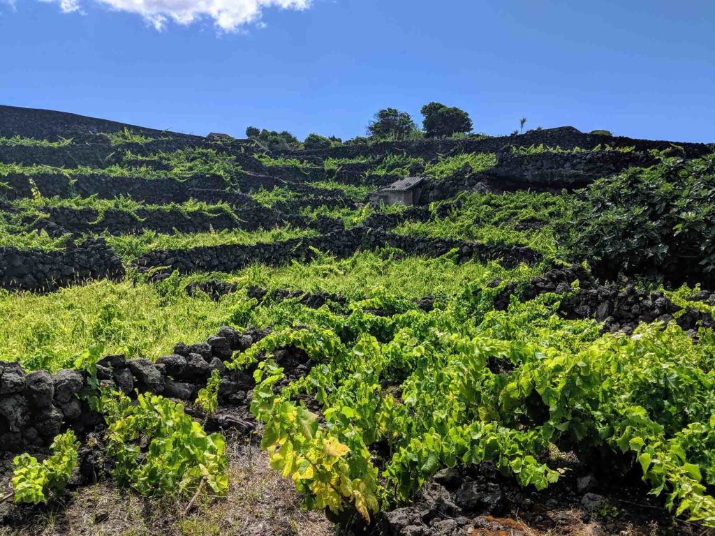 Vineyards in Biscoitos