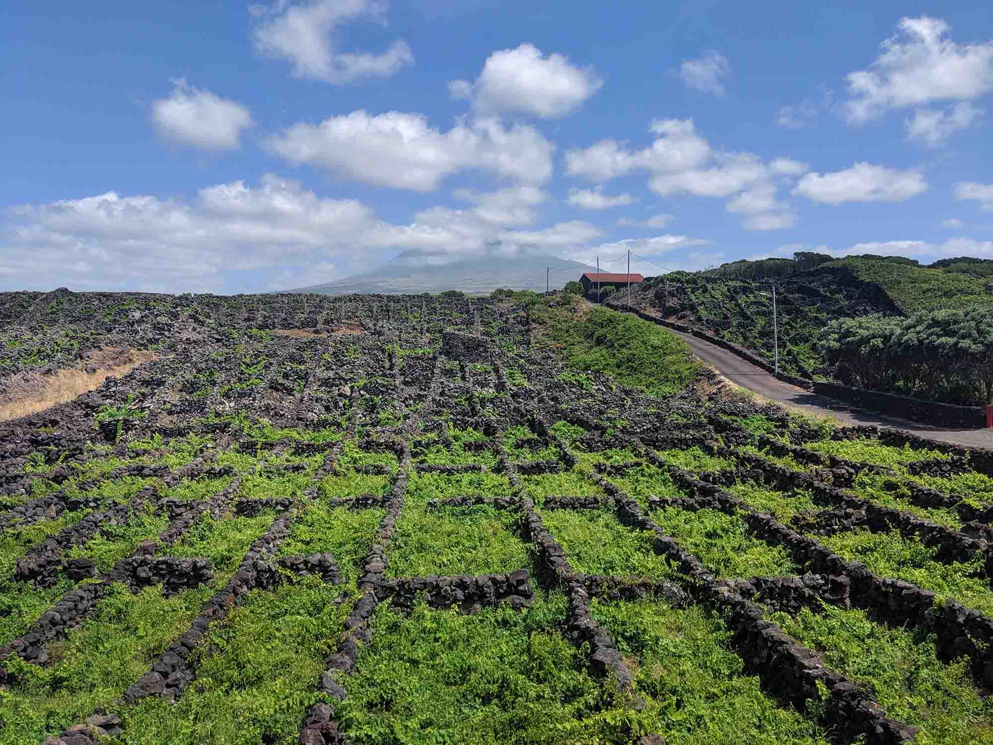 vineyards on Pico Island