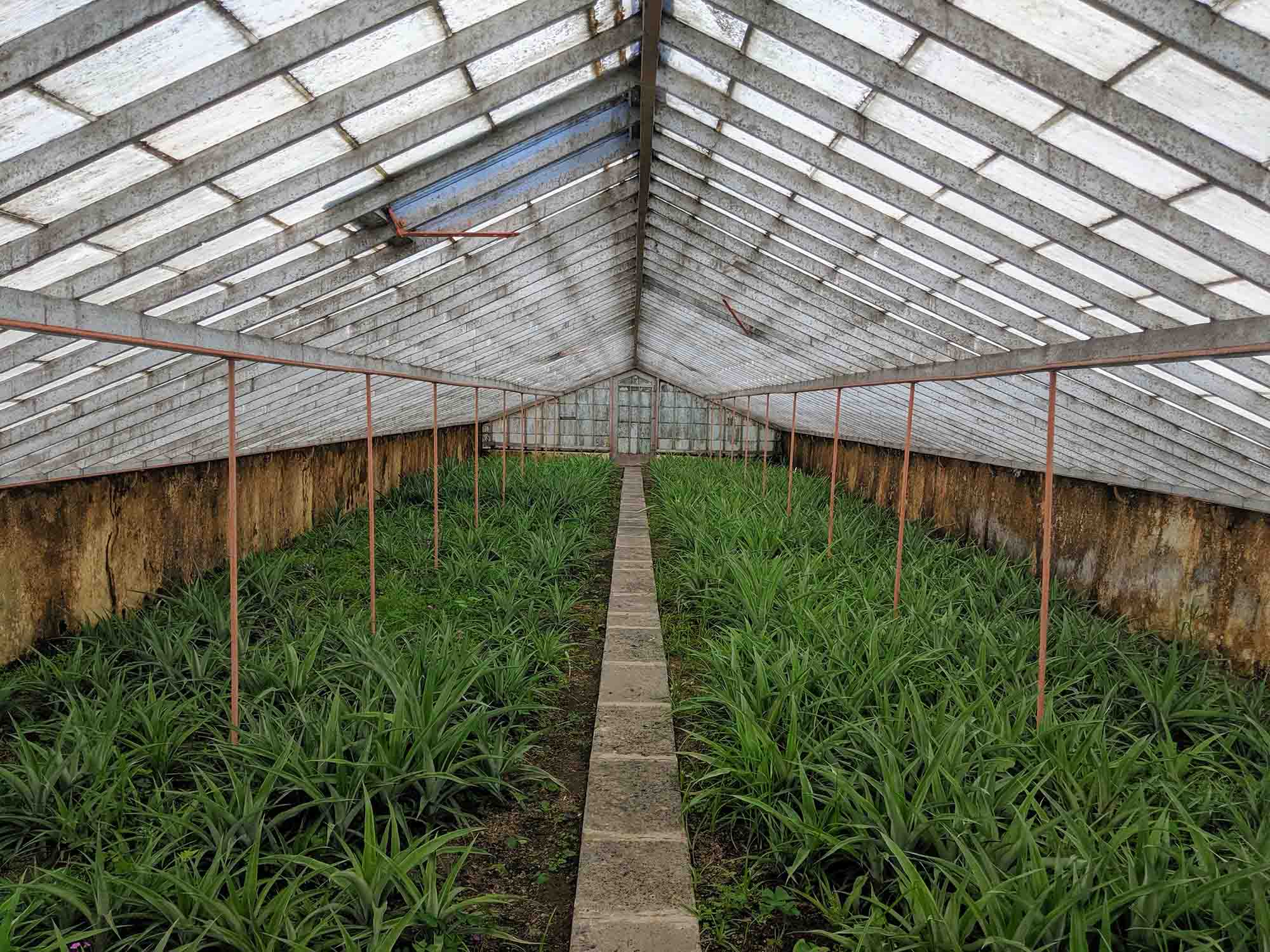 Pineapple greenhouse on sao miguel