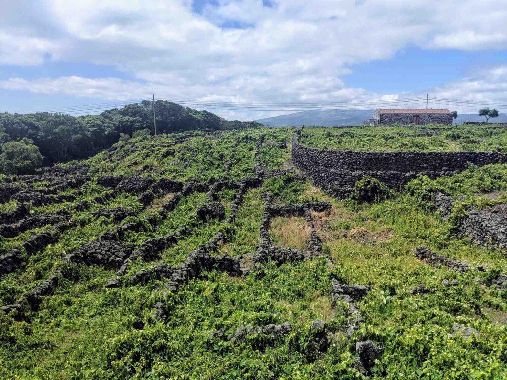 currais at pico vineyard